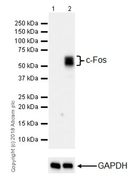 Western blot - Anti-c-Fos antibody [EPR21930-238] (ab222699)