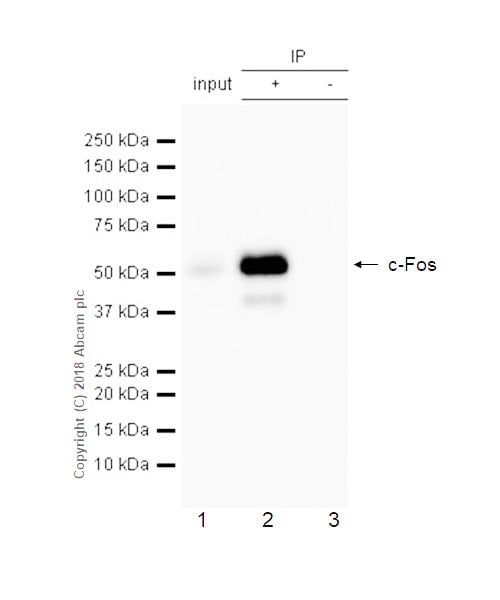 Immunoprecipitation - Anti-c-Fos antibody [EPR21930-238] (ab222699)