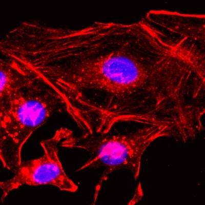 Immunocytochemistry/ Immunofluorescence - Biotin Anti-beta Actin antibody [RM112] - N-terminal (ab222760)