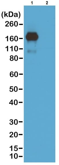 Western blot - Biotin Anti-IgA antibody [RM220] (ab222777)