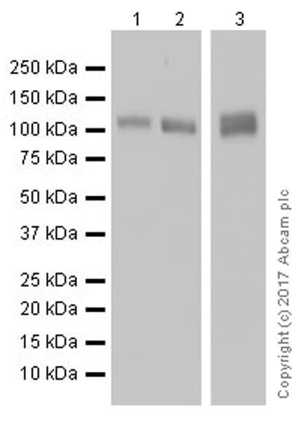 Western blot - Anti-CD31 antibody [EPR17260-263] (ab222783)
