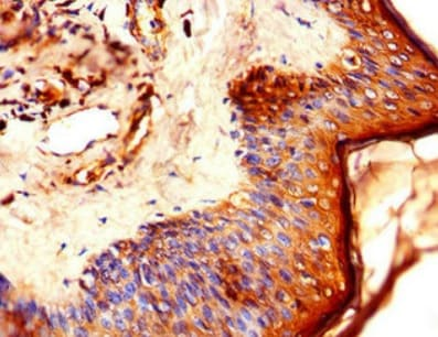Immunohistochemistry (Formalin/PFA-fixed paraffin-embedded sections) - Anti-LEP2 antibody (ab222796)