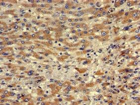 Immunohistochemistry (Formalin/PFA-fixed paraffin-embedded sections) - Anti-MRF-1 antibody (ab222827)
