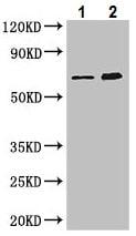 Western blot - Anti-ME3 antibody (ab222857)