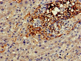 Immunohistochemistry (Formalin/PFA-fixed paraffin-embedded sections) - Anti-Cx50 antibody (ab222885)