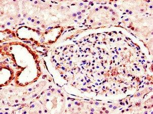 Immunohistochemistry (Formalin/PFA-fixed paraffin-embedded sections) - Anti-MT-ND1 antibody (ab222892)