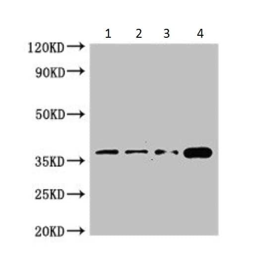 Western blot - Anti-Cdx4 antibody (ab222909)