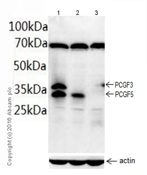 Western blot - Anti-PCGF3+PCGF5 antibody [EPR19475] - BSA and Azide free (ab222922)