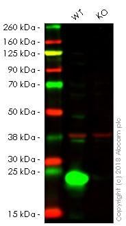 Western blot - Anti-IL-18 antibody [EPR19954] - BSA and Azide free (ab222926)