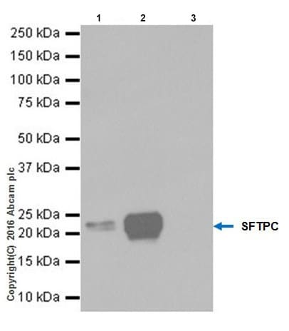 Immunoprecipitation - Anti-SP-C antibody [EPR19839] - Low endotoxin, Azide free (ab222929)