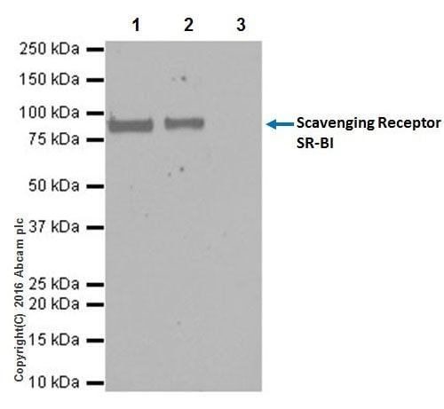 Immunoprecipitation - Anti-Scavenging Receptor SR-BI antibody [EPR20190] - Low endotoxin, Azide free (ab222931)