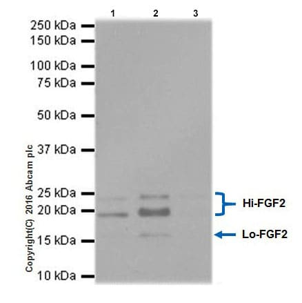 Immunoprecipitation - Anti-FGF2 antibody [EPR20145-219] - Low endotoxin, Azide free (ab222932)
