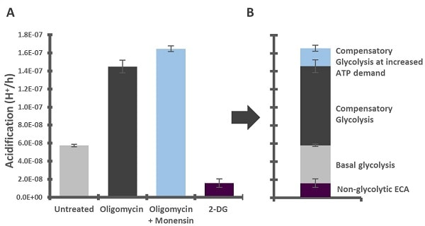 Increased compensatory glycolysis upon increased ATP demand in monensin-treated HepG2 cells.