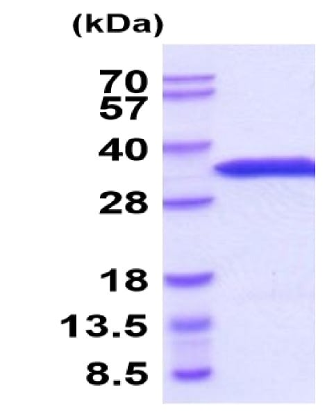 SDS-PAGE - Recombinant Mouse eIF4E protein (His tag) (ab222974)