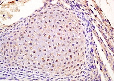 Immunohistochemistry (Formalin/PFA-fixed paraffin-embedded sections) - Anti-Lamin B Receptor/LBR antibody (ab223013)