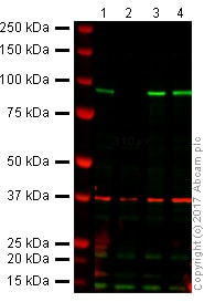 Western blot - Anti-beta Catenin antibody [IGX4794R-3] (ab223075)