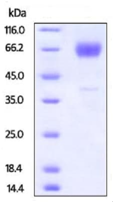 SDS-PAGE - Recombinant Mouse TIM 3 protein (Fc Chimera) (ab223101)