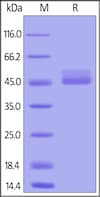 SDS-PAGE - Recombinant cynomolgus monkey TIGIT protein (Fc Chimera Active) (ab223105)