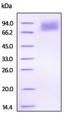 SDS-PAGE - Recombinant Human FGFR1 protein (ab223107)