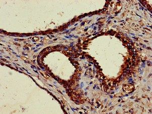 Immunohistochemistry (Formalin/PFA-fixed paraffin-embedded sections) - Anti-NUCB2 antibody (ab223123)