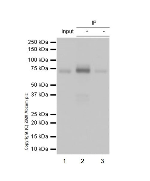 Immunoprecipitation - Anti-Cortactin antibody [EP1922Y] - BSA and Azide free (ab223125)