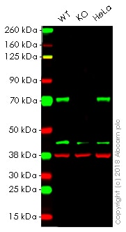 Western blot - Anti-active YAP1 antibody [EPR19812] - BSA and Azide free (ab223126)