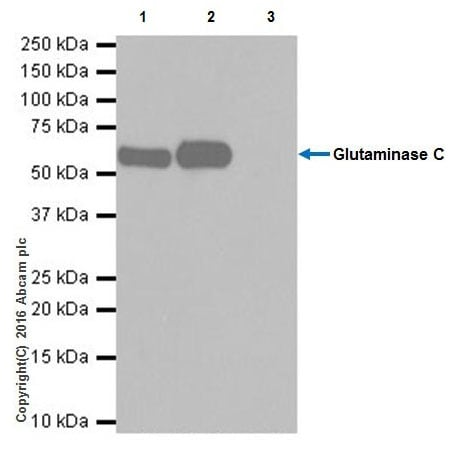 Immunoprecipitation - Anti-Glutaminase C antibody [EPR19525] - BSA and Azide free (ab223129)