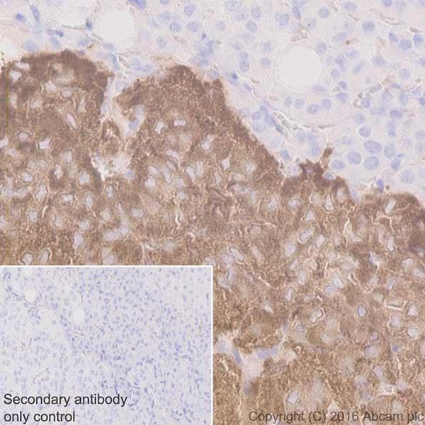 Immunohistochemistry (Formalin/PFA-fixed paraffin-embedded sections) - Anti-Dopamine beta Hydroxylase antibody [EPR20385] - BSA and Azide free (ab223130)