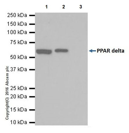 Immunoprecipitation - Anti-PPAR delta antibody [EPR18517] - BSA and Azide free (ab223137)