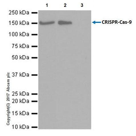 Immunoprecipitation - Anti-CRISPR-Cas9 antibody [EPR19795] - BSA and Azide free (ab223153)