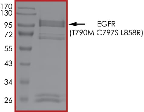 SDS-PAGE - Recombinant human EGFR (mutated T790 + C797 + L858) protein (Active) (ab223159)