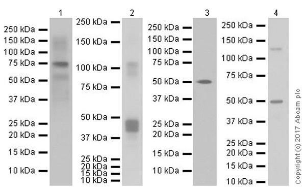 Western blot - Anti-MAGE3 antibody [EPR19065] (ab223162)