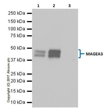Immunoprecipitation - Anti-MAGE3 antibody [EPR19065] (ab223162)
