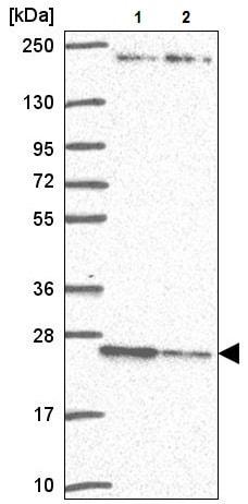 Western blot - Anti-p26 antibody (ab223175)