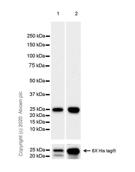 Western blot - Anti-CD16 + CD32 antibody [EPR23501-203] (ab223200)