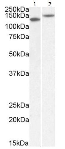 Western blot - Anti-Contactin 1 antibody (ab223217)