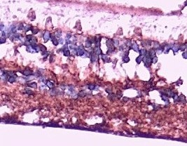 Immunohistochemistry (Formalin/PFA-fixed paraffin-embedded sections) - Anti-Arrestin C antibody - C-terminal (ab223221)