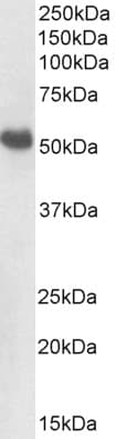Western blot - Anti-BMP7 antibody (ab223228)