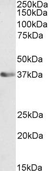 Western blot - Anti-ATF1 antibody - N-terminal (ab223245)