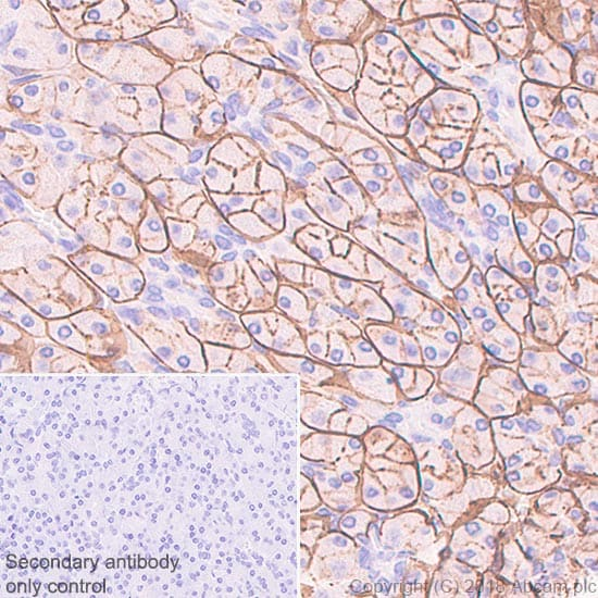 Immunohistochemistry (Formalin/PFA-fixed paraffin-embedded sections) - Anti-ENPP1/PC1 antibody [EPR22262-22] (ab223268)