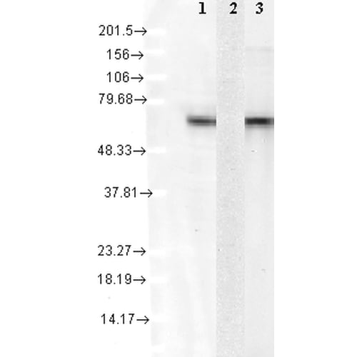 Western blot - Anti-Hsc70 antibody [1F2-H5] (ab223356)