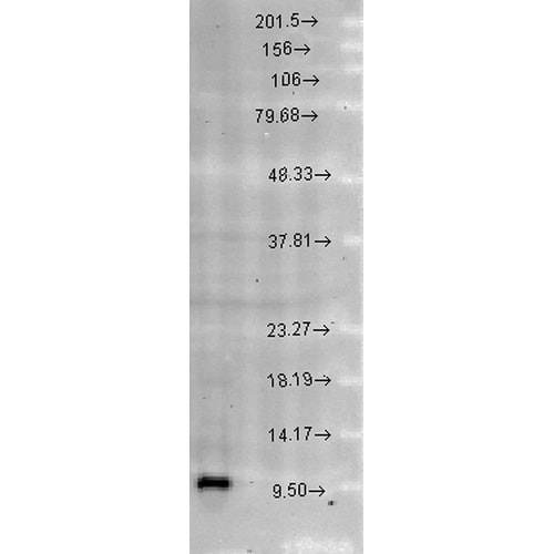 Western blot - Anti-EPF antibody (ab223358)