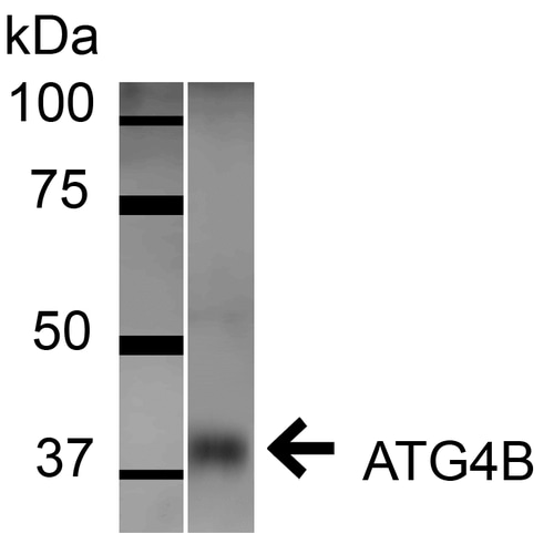 Western blot - Anti-ATG4B antibody (ab223364)