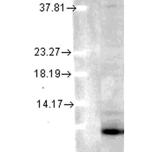 Western blot - Anti-Ubiquitin antibody [6C11-B3] (ab223368)