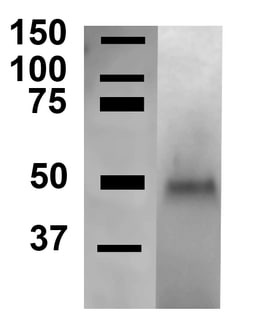Western blot - Anti-ATG4C antibody (ab223370)