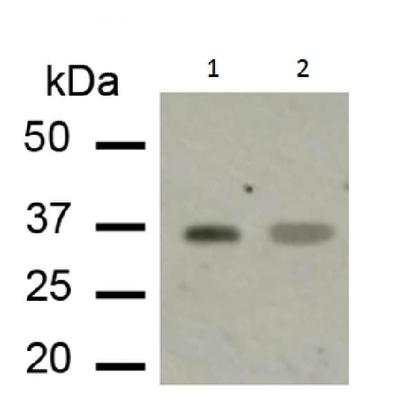 Western blot - Anti-Adenosine A1 Receptor antibody (ab223377)