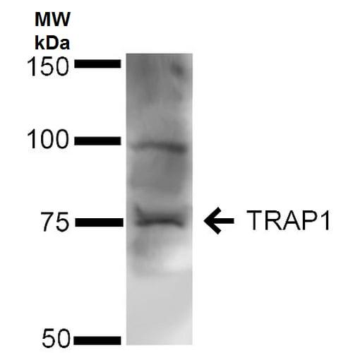 Western blot - Anti-TRAP1 antibody (ab223379)