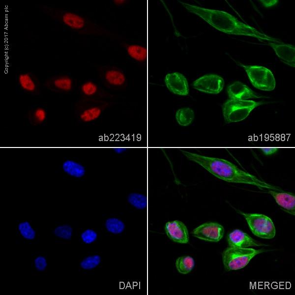 Immunocytochemistry/ Immunofluorescence - Anti-QK1 antibody [EPR7306] (Alexa Fluor® 647) (ab223419)