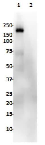 Western blot - Anti-EGFR (phospho Y1068) antibody [SP353] (ab223499)