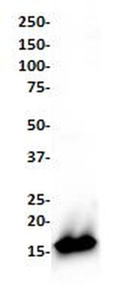 Western blot - Anti-Lysozyme antibody [SP329] (ab223503)